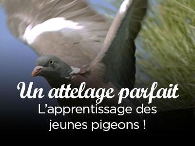 Apprentissage des jeunes pigeons
